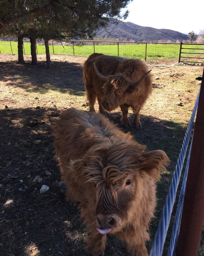 A baby Highland Cow Heilan Coo and her mother spottedhellip